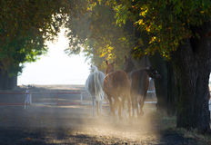 Herd of arabian horses on the village misty road Stock Image