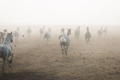 Herd of arabian horses on the village road. Herd of arabian horses galloping on the village road with chesnut trees Stock Photo