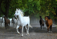 Herd of arabian horses on the village road Royalty Free Stock Image