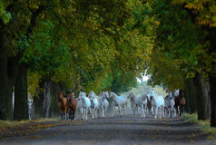 Herd of arabian horses on the village road Stock Photo