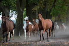 Herd of arabian horses on the village road stock photography