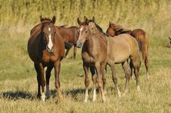 Herd arabian horses whith foals Stock Images