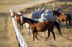 Herd of arabian horsesd Royalty Free Stock Photo