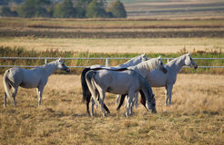 Herd of arabian horsesd Stock Photography