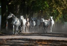 Herd of arabian white horses on the autumn village road stock images