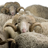 Herd of Arles Merino sheep, rams Royalty Free Stock Photography