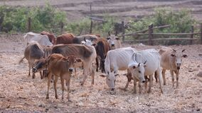 Herd of asian cows in a ranch , Chiang mai Thailand.