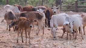 Herd of Asian cows in a ranch, Chiang Mai Thailand
