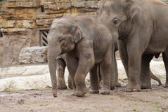 Herd of Asian Elephant - Elephas maximus Stock Photo