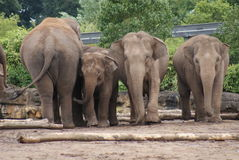 Herd of Asian Elephant - Elephas maximus Stock Photography