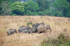 Herd of Asian Elephants of Khao Yai national park Royalty Free Stock Photography