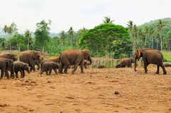 Herd of asian elephants. Pinnawela. Sri Lanka. Stock Photography