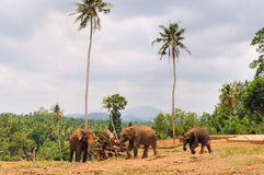 Herd of asian elephants. Pinnawela. Sri Lanka. Royalty Free Stock Photography
