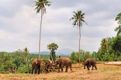 Herd of asian elephants. Pinnawela. Sri Lanka. Royalty Free Stock Photography