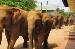 Herd of asian elephants. Pinnawela. Sri Lanka. Stock Image