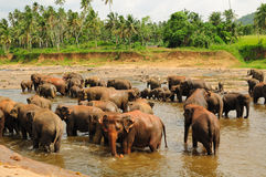 Herd of asian elephants. Pinnawela. Sri Lanka. Royalty Free Stock Photo