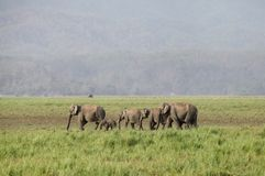 A herd of Asiatic elephants Stock Photography