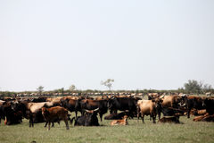 Herd of aurochs Stock Image