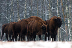 A herd of aurochs Bison bonasus standing on the winter field. several large brown bison on the forest background.European bison. stock image
