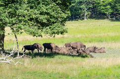 Herd of Aurochs Royalty Free Stock Photography