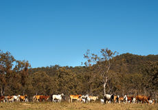 Herd of Australian beef cattle with blue sky Royalty Free Stock Photography
