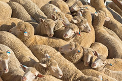 A herd of Australian sheep standing in the sun on a truck Royalty Free Stock Photos