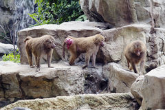 The herd of baboons Stock Photo