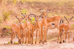 Herd of baby impala. Herd od newborn baby impala with mother in the background stock images