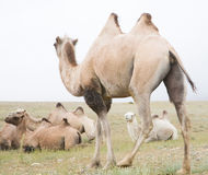 Herd of Bactrian camels Stock Images