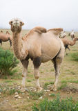 Herd of Bactrian camels Royalty Free Stock Photo
