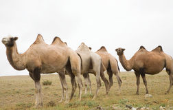 Herd of Bactrian camels Stock Photography