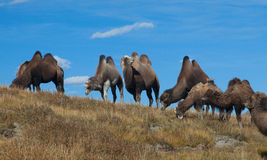 Herd of Bactrian camels Stock Image