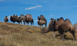 Herd of Bactrian camels Royalty Free Stock Images