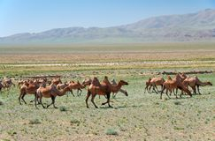 Bactrian camels in mongolian stone desert in Mongolia royalty free stock photos