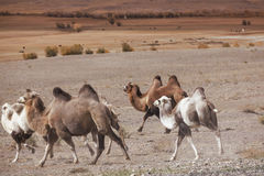 Herd of Bactrian camels running Royalty Free Stock Image