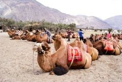 A herd of Bactrian species of double humped camels in Nubra Valley. A herd of Bactrian species of double humped camels, domesticated for tourist rides in the Stock Photo