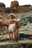 Herd of Barbary Sheep Stock Photography