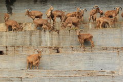 Barbary sheeps Royalty Free Stock Photos