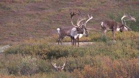 Herd of Barren Ground Caribou Bulls stock video