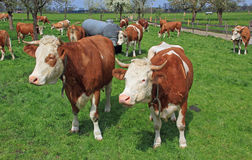 Herd of bavarian milkers in a fruit orchard Stock Images