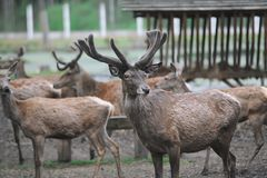 The herd of beautiful deer expects feeding. Group of deers in zoo royalty free stock photo