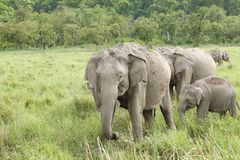 A herd of beautiful elephants Royalty Free Stock Photography