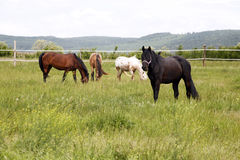 Herd of beautiful horses.  Young horses grazing in a meadow. Purebred horses graze the fresh green grass on beautiful meadow Stock Photo