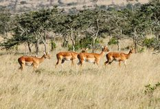 A herd of beautiful Impalas Royalty Free Stock Photography
