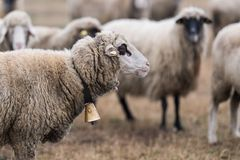 Herd of sheep on pasture royalty free stock photos