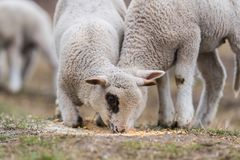 Herd of sheep on pasture royalty free stock photography
