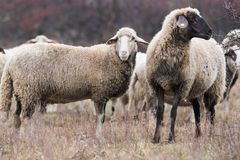 Herd of sheep on pasture stock photography