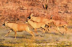 Herd of beautiful very secretive Roan antelope. Running royalty free stock photography