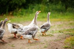 Geese on the field. A herd of beautiful white geese walking in a meadow near a farmhouse Stock Images