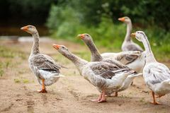 Geese on the field. A herd of beautiful white geese walking in a meadow near a farmhouse Stock Photo